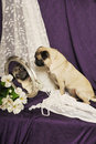 Pug Image in Antique Mirror Royalty Free Stock Photo