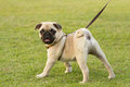Pug is kept on leash puppy Stock Photography