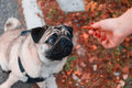 Pug looking at feeding hand bone biscuit in Stock Photos
