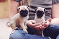 Pug puppies teeny tiny Royalty Free Stock Photo
