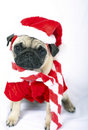 Pug puppy as Santa Claus Stock Images