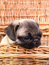 Pug Puppy in a basket Royalty Free Stock Photo