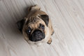 The pug puppy closeup with open mouth Royalty Free Stock Photography