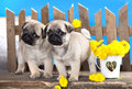 Pug puppy and dandelions spring flowers Stock Images