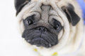 Pug puppy dog close up face of cute Stock Photos