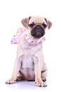 Pug puppy dog with a pink scarf Royalty Free Stock Image