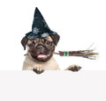 Pug puppy with hat for halloween and with witches broom stick in his mouth peeking from behind empty board. isolated on white back Royalty Free Stock Photo
