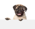 Pug puppy looking at camera from behind empty board. isolated Royalty Free Stock Photo