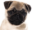 Pug puppy portrait isolated on white background Stock Photography