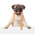Pug puppy with sausages in the mouth peeking from behind empty banner. isolated on white Royalty Free Stock Photo