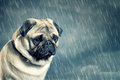 Pug in the rain sitting Royalty Free Stock Images