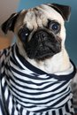 Pug in a sailor shirt sad little Royalty Free Stock Photography
