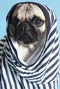 Pug in a sailor shirt sad little Stock Photos