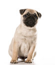 Pug sitting leaning to the side isolated on white background Royalty Free Stock Images