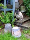 Pug sitting on rustic steps Royalty Free Stock Photo