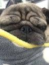 Pug sleeping close up looking snug Royalty Free Stock Photo