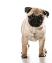 Pug standing looking at viewer isolated on white background Royalty Free Stock Images