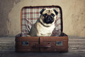Pug in suitcase little a Royalty Free Stock Image