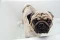 Pug in a tub dog getting washed bath Stock Images