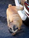 Pug urinating on the whitewall tire of a classic automobile Stock Photo