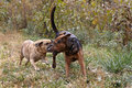 Puggle and Boxer Shepherd mixed breed dogs Royalty Free Stock Photo