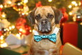 Puggle a cute with his bow tie on Stock Photo