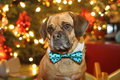 Puggle a cute with his bow tie on Royalty Free Stock Photos