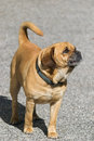 Puggle Guard Dog Stock Photo