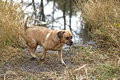 Puggle mixed breed dog. Stock Photo