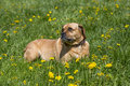 Puggle mixed breed dog a lays in a grassy meadow Royalty Free Stock Image