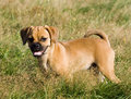 Puggle Puppy Stands in the Grass Stock Photography