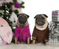 Pugs, 6 years and 3 years old, with Christmas Royalty Free Stock Photo