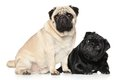 Pugs black and brown two in front of white background Royalty Free Stock Photo