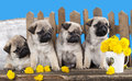Pugs puppies and dandelions on a retro background Stock Photography