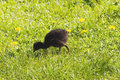 Pukeko chick Stock Photography
