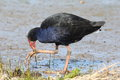 Pukeko a colourful new zealand native known for it s dexterous use of it s claws when eating as seen here Stock Photo