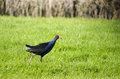 Pukeko native new zealand bird walks on green grass Royalty Free Stock Images