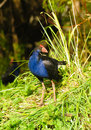 Pukeko new zealand a native bird in the wild Stock Photo