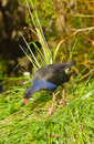 Pukeko new zealand a native bird in the wild Royalty Free Stock Photo