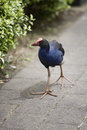 Pukeko nosey and somewhat tame near auckland international airport Stock Photography
