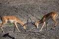 Puku deer rutting Royalty Free Stock Images