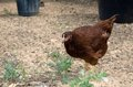 Pullet a rhode island red Royalty Free Stock Photo