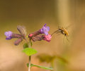 Pulmonaria obscura and bombylius major Royalty Free Stock Photography