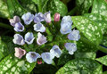 Pulmonaria 'Roy Davidson' Stock Image