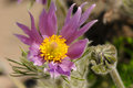Pulsatilla a flower of x hybrida polka Royalty Free Stock Images