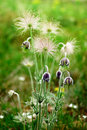 Pulsatilla flowers Royalty Free Stock Photo
