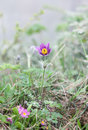 Pulsatilla pasque flower patens in springtime shallow dof Royalty Free Stock Photo