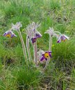 Pulsatilla patens flowers early spring wild field with Stock Photos