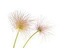 Pulsatilla patens on a white background Stock Photography