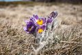 Pulsatilla vernalis in spring early blooming flowers high crimean mountains Royalty Free Stock Images